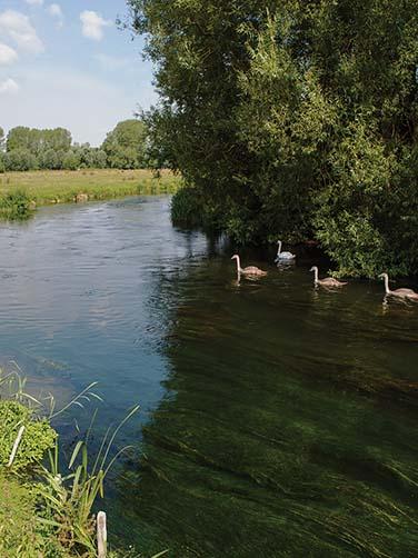 salisbury-swans